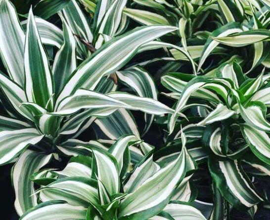 Le Dracaena Est Une Belle Plante D Interieur Facile A Entretenir