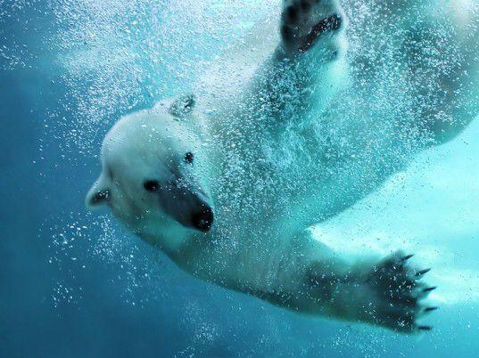 Bild från http://assets.inhabitat.com/wp-content/blogs.dir/1/files/2013/03/polar-bear-north-pole-537x402.jpg.