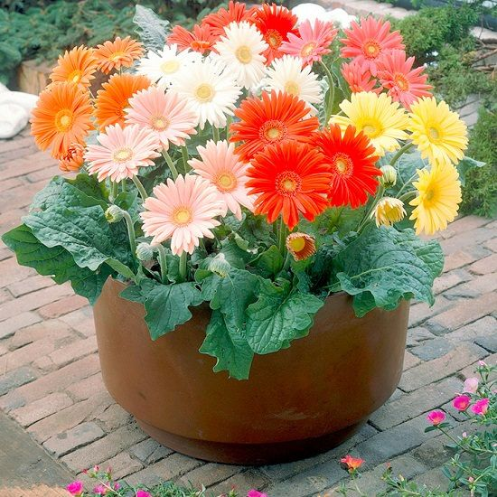 How To Grow Gerbera Daisy Anywhere With Images Gerbera Plant