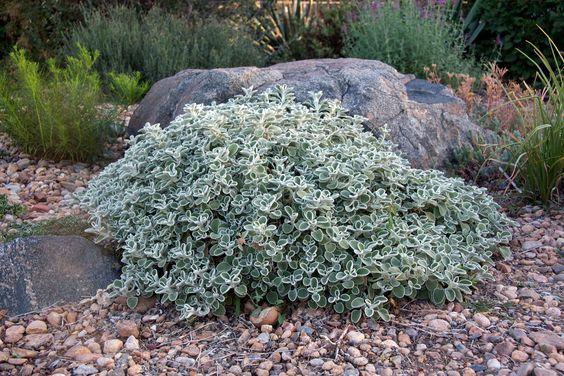Marrubium rotundifolium