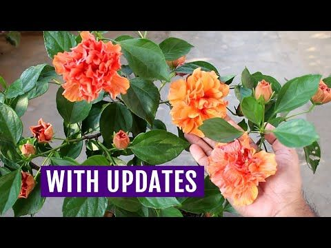 My No 1 Secret To Force Hibiscus To Bloom Youtube In 2020 Hibiscus Plant Growing Hibiscus Hibiscus Bush