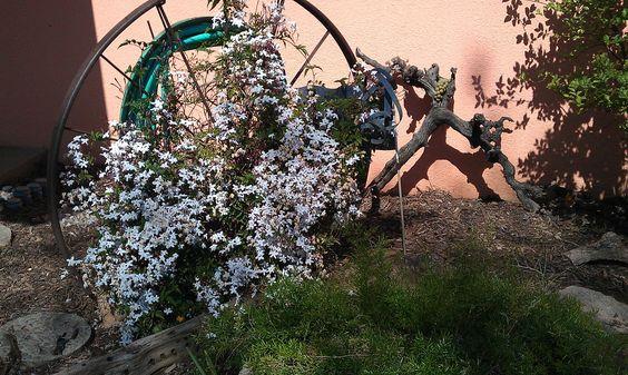 wagon wheel with Jasmine