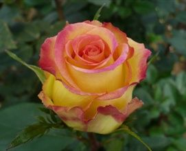 'Ambiance' rose