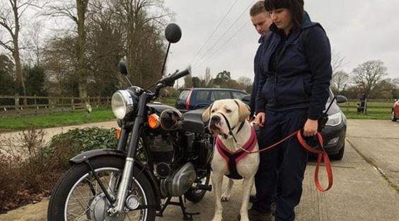 Cão com 76 quilos procura novo dono 'Jagger' foi deixado amarrado a um poste de eletricidade.