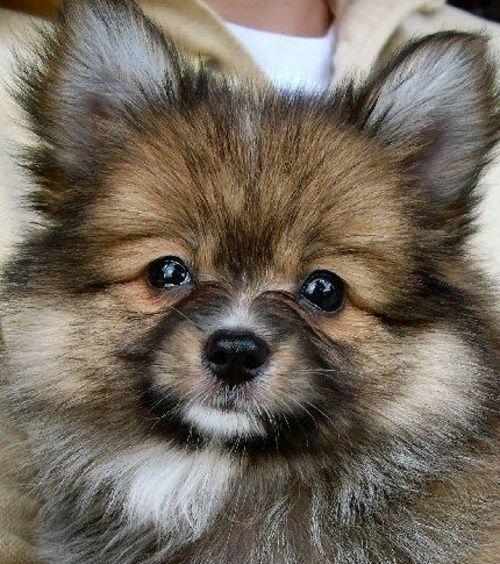 16 Pomeranian Mixes All Different Kinds Of Pomi Perfection Pomeranian Chihuahua Mix Pomeranian Mix Pomeranian Mix Puppies
