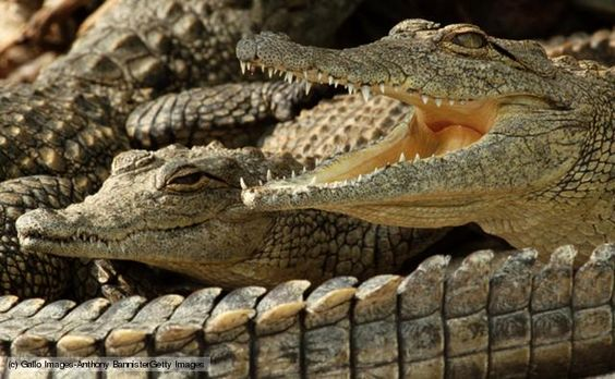 Crocodiles and the dwarf crocodile are a family of reptiles within the Crocodile order. The Nile crocodile, American Crocodile and mugger crocodile are example members of this family.