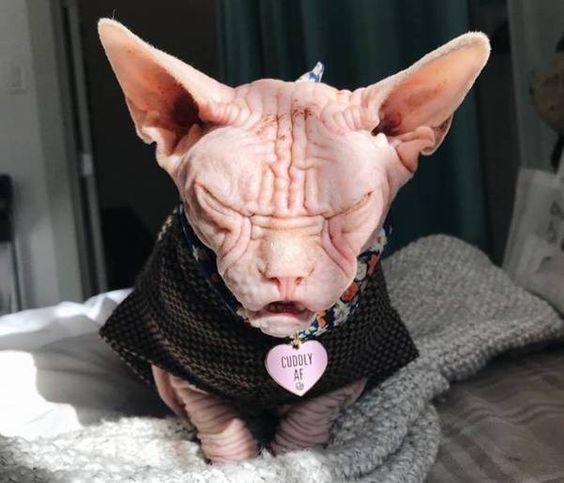 99 Wow The Grumpiest Cat In The Worldأكشر قط في العالم Grumpy Cat Sphynx Cat Hairless Cat
