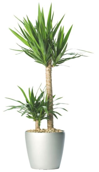 Pinterest le catalogue d 39 id es - Yucca plante d interieur ...