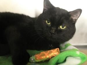 TRIBECA is an adoptable Domestic Short Hair Cat in New York, NY. A volunteer writes: When you first meet Tribeca you may think he is shy but call his name and coax him to front of cage and he will mel...