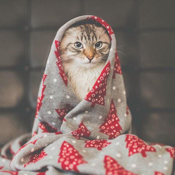 Christmas cattitude! 🐱🎄😹 ~ #cat #christmas