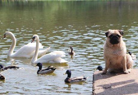 Pug, Swans & Ducks