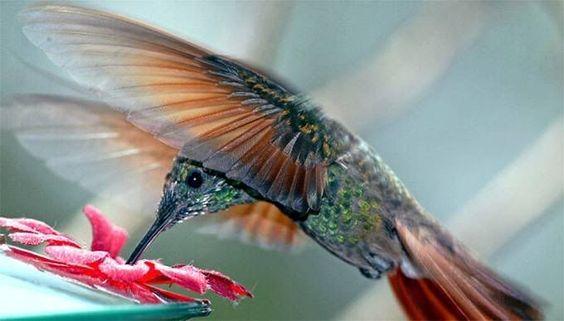 hummingbird video pinterest | Found on s186.photobucket.com