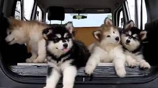 malamute puppies hearing music - YouTube