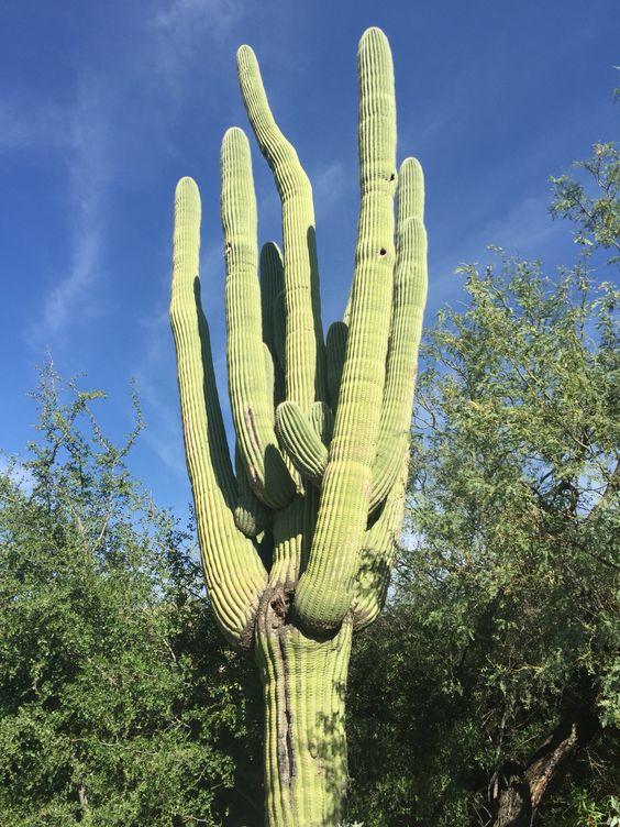Arizona's finest  Tucson Giant Saguaro Cactus at Loews Ventana Canyon Resort ❤️
