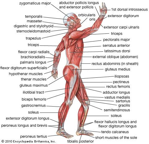 human muscular system: lateral view