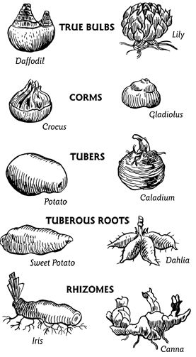 bulb type illustrations - planting tips for bulbs (note article written for Georgia gardeners or Zones 7-8 so adjust to your zone).  Tip: you can use a Sharpie marker to write the bloom color/type on each bulb before storing for next year.