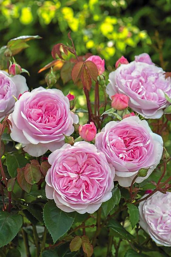 "The Olivia Rose Austin is a pink, soft rose that the Albrighton-based grower is describing as possibly ""the best English rose we have introduced to date"". << New Austin rose being introduced at this week's Chelsea Flower Show"
