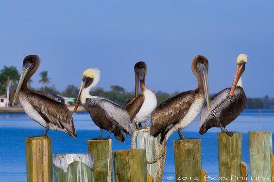 Matlacha Pelicans by Bob Phillips