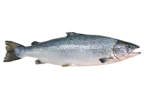 EUA poderá vender salmão transgênico: até onde o desejo por carne vai nos levar