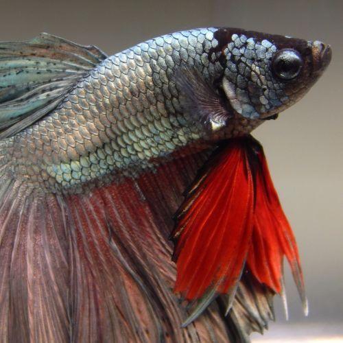 Pin By Lexi Ziebarth On Pets Betta Fish Betta Pet Fish