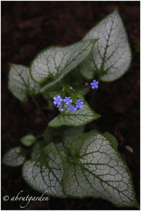 ABOUTGARDEN:  Brunnera macrophylla 'Jack Frost'