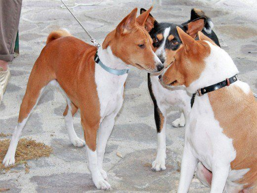 Five Dog Breeds That Don T Bark Much Dogs Dog Breeds Dog List