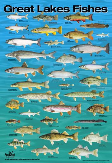 Poster fish of the great lakes by wisconsin sea grant for Lake michigan fish