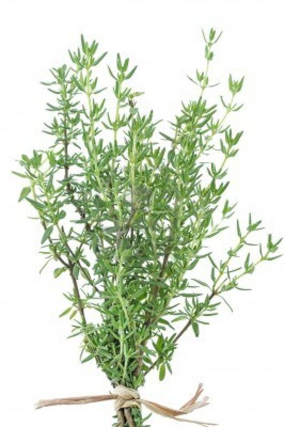 Thyme delays the signs of aging.  A favorite in French cuisine, can strength low blood pressure, cough and soothing expectorant, antispasmodic and effective against diarrhea, effective on insect bites and helps when inhaled from a warm bath.