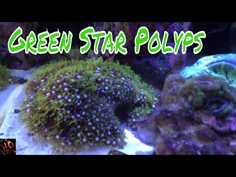 Green Star Polyps Soft Coral Care Guide For Reef Aquarium Polyp Coral Saltwater Aquarium Fish Polyp