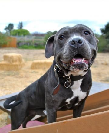 Dogs Available for Adoption | BAD RAP