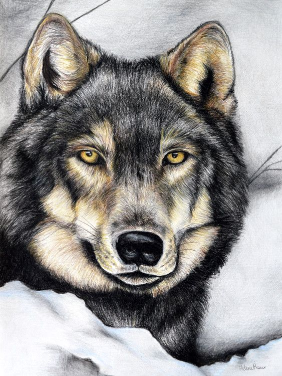 Loups dessins and crayons on pinterest - Image loup dessin ...