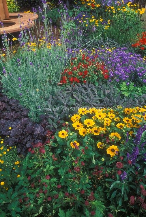 Color abounds with Rudbeckia black eyed Susan daisies, sage, astrantia, flowering tobacco Nicotiana, bachelor buttons Centaurea cyanus, Heuchera, Coreopsis