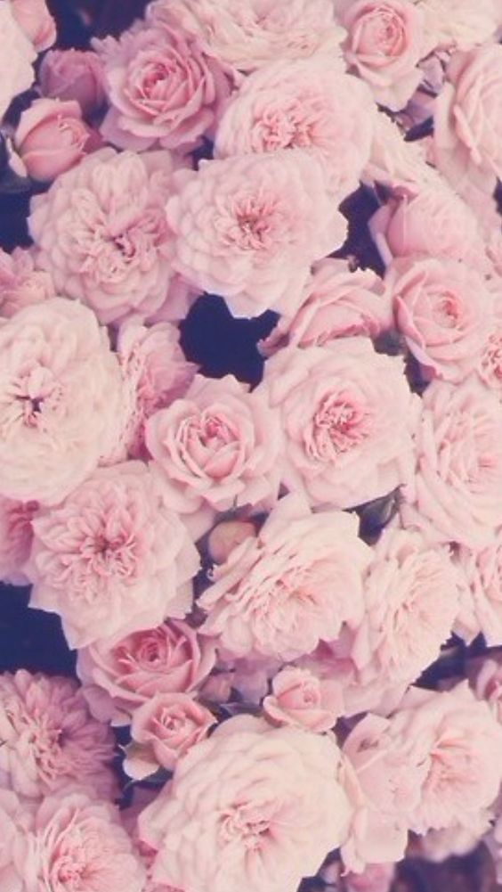 Pink roses iphone wallpaper | iPhone Wallpaper | Pinterest ...