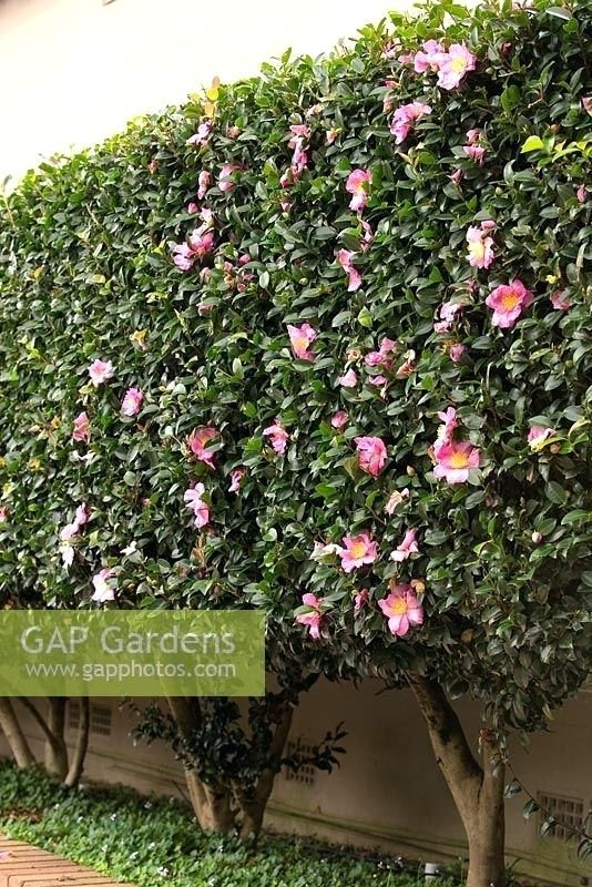 Underplanting Camellias Google Search Garden Hedges Garden Design Plants