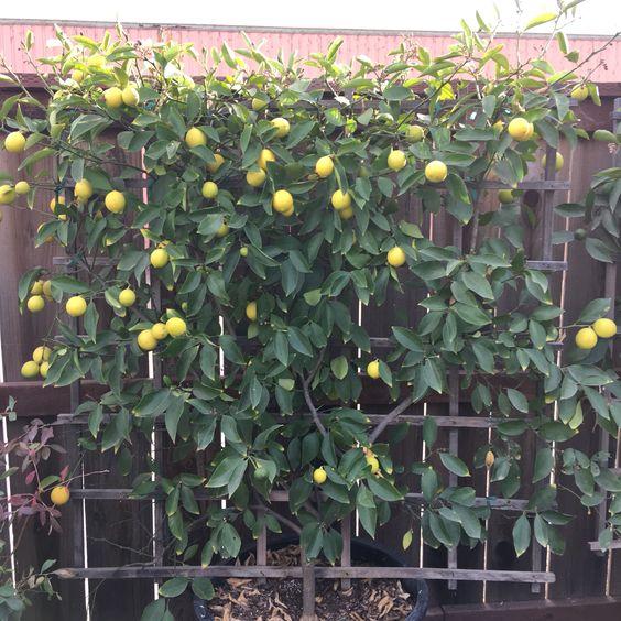Espaliered Meyer Lemon Tree Meyer Lemon Tree Citrus Tree Garden Citrus Trees