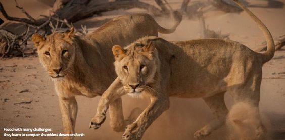 "Two of the ""Five Musketeers"" desert-adapted lions #Hoanib #Namibia"