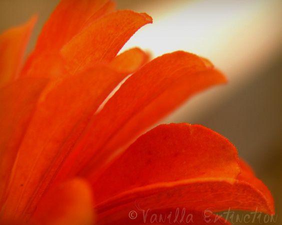 Zinnia Floral Photograph Orange,macro,petals,fine art,gifts under 25,tangerine. $20.00, via Etsy.