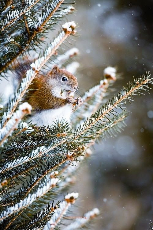 Snowy squirrel: