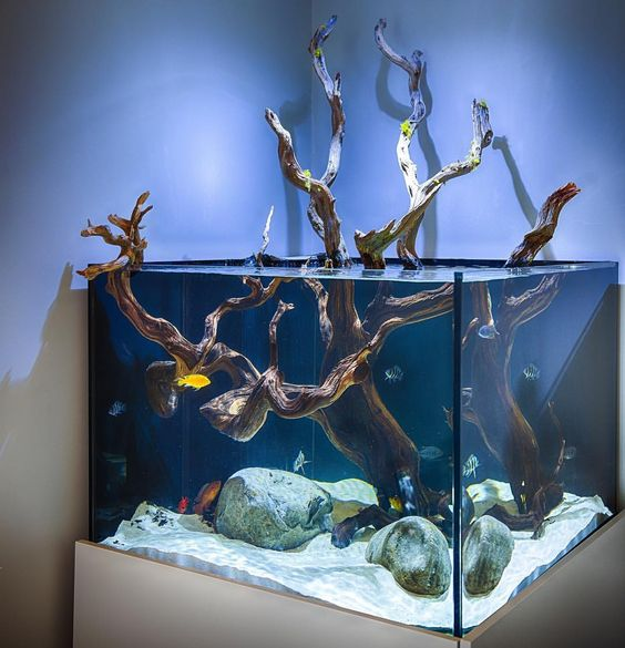 Closeup of an African  cichlid aquarium with manzanita wood.