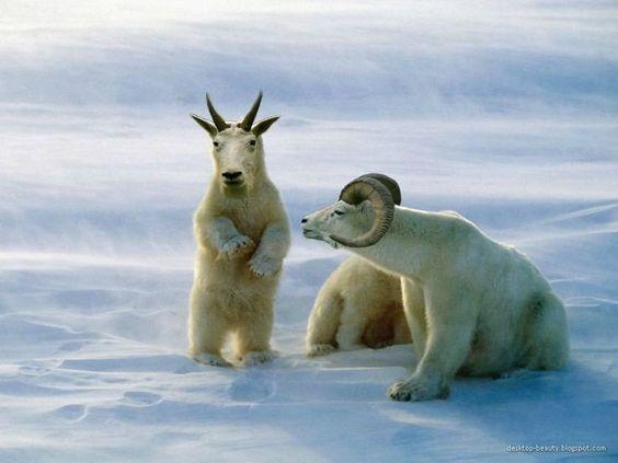 Polar Goats