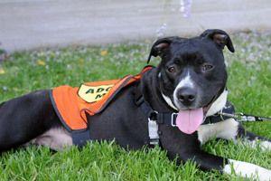 "Ohio overturns law defining pit bulls as ""dangerous"" » DogHeirs | Where Dogs Are Family « Keywords: pet legislation, breed specific legislation, Pit Bull, Ohio"