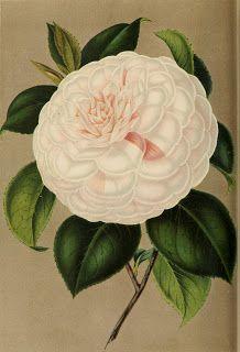 Vintage Ephemera: French Botanical Plate, Camellia, 1854
