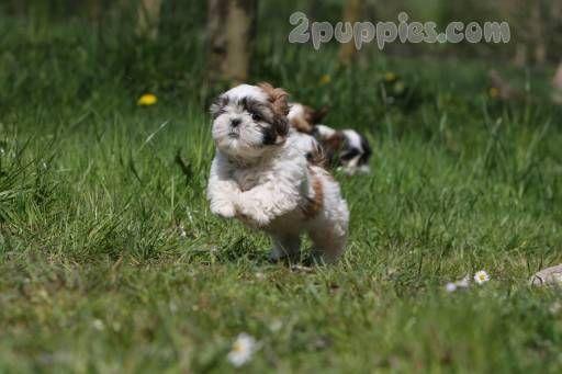 Shih Tzu Shih Tzu Dog Dog Breeds Pictures Dog Breeds