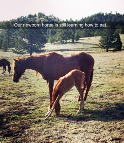 Newborn horse is still in the process of learning how to eat