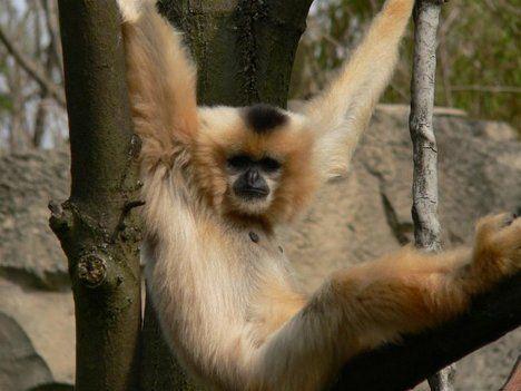 Bedreigde geelwang kuifgibbons   - Wetenschapper vonden in  Cambodja 8  twee soorten slankapen en gibbons tijdens een veldonderzoek. Ze telden ongeveer 42.000 slankapen en circa 2.500 geelwangkuifgibbons.   HLN.be afgebeeld is een vrouwelijke  nomascus gabriela