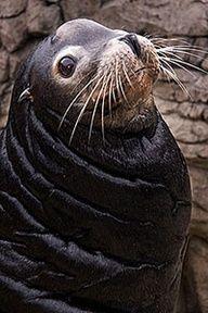 Awh! Seal