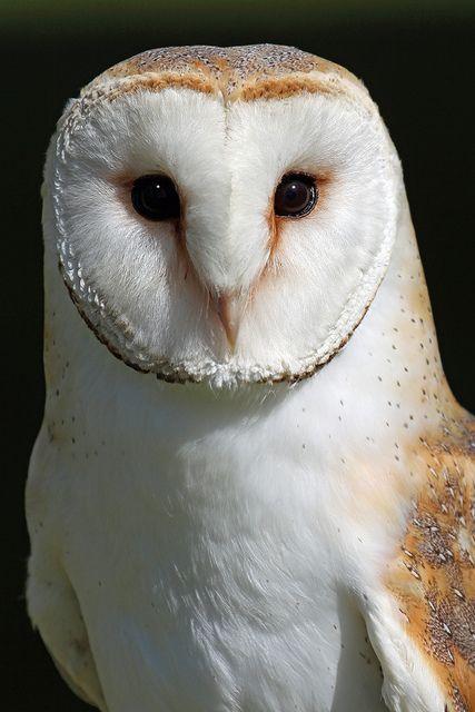 Barn Owl, beautiful creature Fluffy cute animals