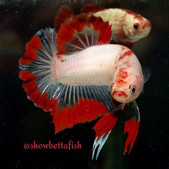 Cellophane Red Butterfly Show Plakat Male - bred by Interfish Thailand