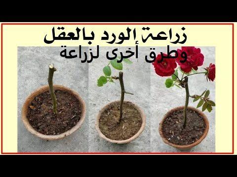 جورى ورد بلدى طرق تكاثر من الف للياء حلقة 33 Youtube Plants Planter Pots Planters