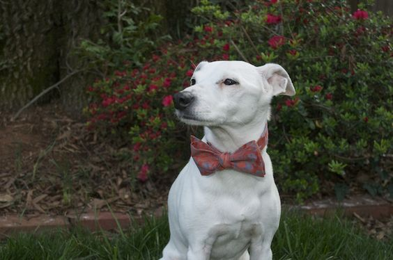 """Jack """"The Dog"""" wearing one of our spring rayon bow ties."""